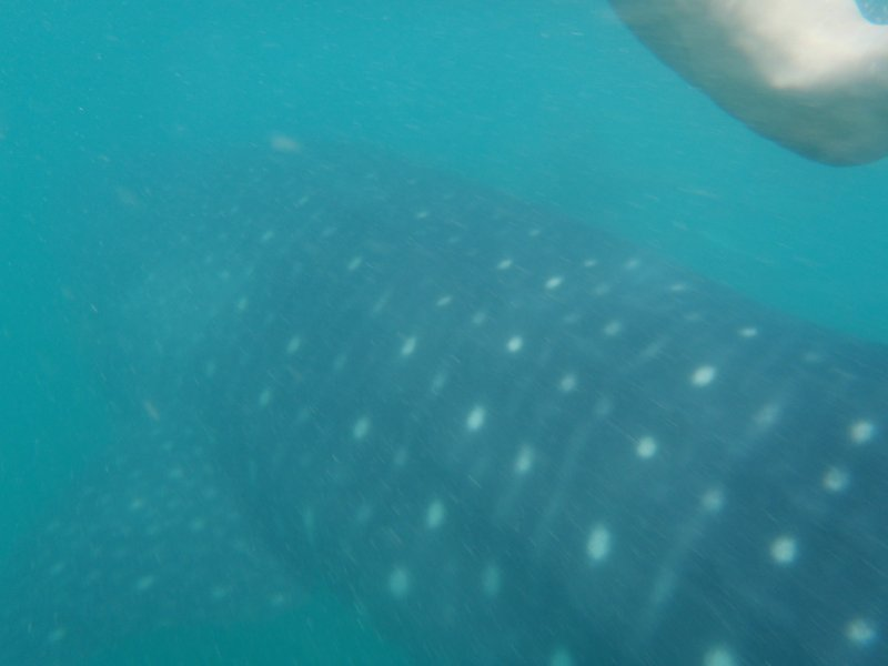 Swimming with the Gentle Giants of Donsol